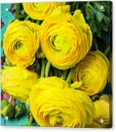 Beautiful Yellow Ranunculus Acrylic Print