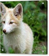 Beautiful Young Fox Portrait Acrylic Print