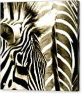 Beautiful Zebras Acrylic Print