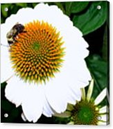 Beauty And The Bee #2 Acrylic Print