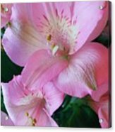 Beauty In Pink Acrylic Print