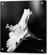 Hibiscus Flower Acrylic Print