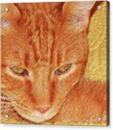 Beauty Of A Cat Acrylic Print