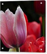 Beauty Of Spring Tulips 1 Acrylic Print