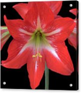 Beauty Of The Amaryllis Acrylic Print