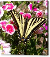 Beautyfly In Pink Acrylic Print