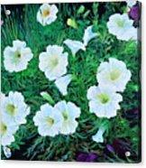 Beauyiful Petunias Acrylic Print