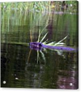Beaver Carrying A Reed Acrylic Print