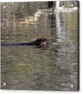 Beaver Glide Acrylic Print