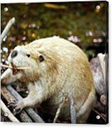 Beaver Acrylic Print