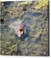Beaver Spotted The Great Beaver Escape 01 Acrylic Print