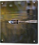 Beaver Swimming  Late Evening Acrylic Print
