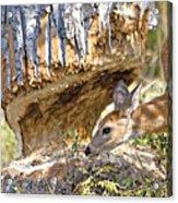 Beaver Wannabe Acrylic Print