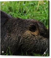 Beaver Whiskers Acrylic Print