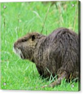 Beaver With Whiskers Acrylic Print