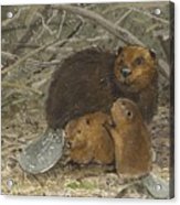 Beavers Acrylic Print