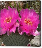 Beavertail Cactus Flowers Acrylic Print