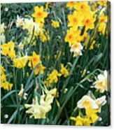 Bed Of Daffodils Acrylic Print