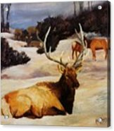 Bedded Down   Bull Elk In Snow Acrylic Print