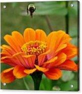 Bee Above Orange Zinnia Acrylic Print