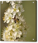 Bee And Blossoms Acrylic Print