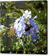 Bee And Butterfly II Acrylic Print