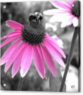 Bee And Cone Flower Acrylic Print