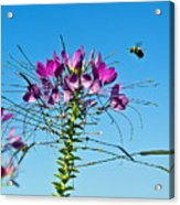 Bee And Flower Acrylic Print