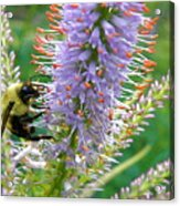 Bee And Its Lavender Delight Acrylic Print