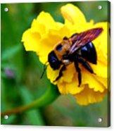 Bee And Marigold Acrylic Print