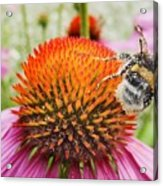 Bee And Pink Flower Acrylic Print