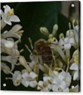 Bee And Small White Blossoms Acrylic Print