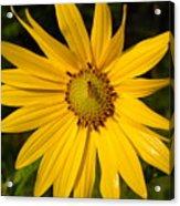 Bee And Yellow Flower Acrylic Print