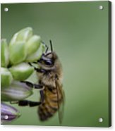 Busy Bee Acrylic Print by Andrea Silies