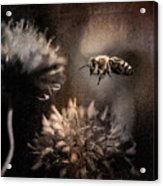 Bee Approaching Red Clover Blossom Acrylic Print