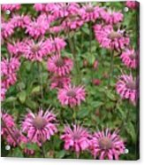 Bee Balm Beauties Acrylic Print