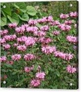 Bee Balm Garden Acrylic Print