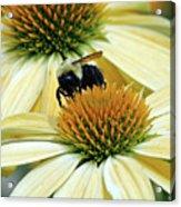 Bee Buzzer Acrylic Print