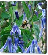 Bee Buzzing Through Blue Beauty Acrylic Print