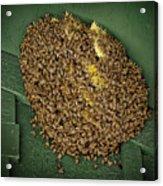 Bee Cluster Acrylic Print