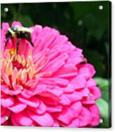 Bee Collecting Pollen Acrylic Print