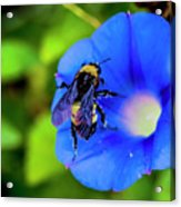 Bee Covered With Pollen On Morning Glory 3521t Acrylic Print
