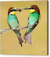Bee-eater Valentine Heart Acrylic Print