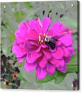 Bee Feeding From Pink Zinnia Acrylic Print