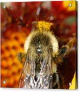 Bee Five - Acrylic Print