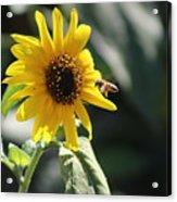 Bee Flying To Bright Lemon Yellow Wild Sunflower In High California Sun Acrylic Print