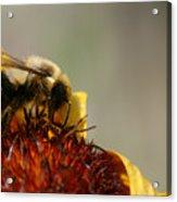 Bee Four Acrylic Print