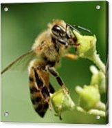Bee Gathering Nectar Acrylic Print