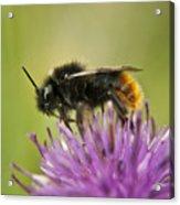 Bee I Acrylic Print