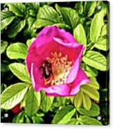 Bee In Bloom Acrylic Print